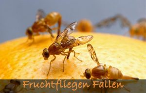 Fruchtfliegen Fallen
